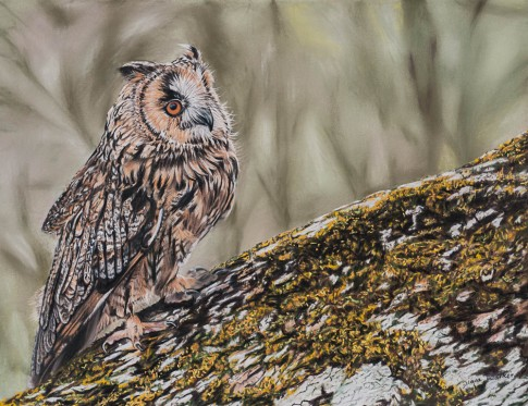 Long-eared Owl - Pastels